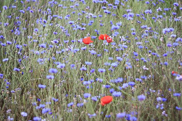 rudzupuķes