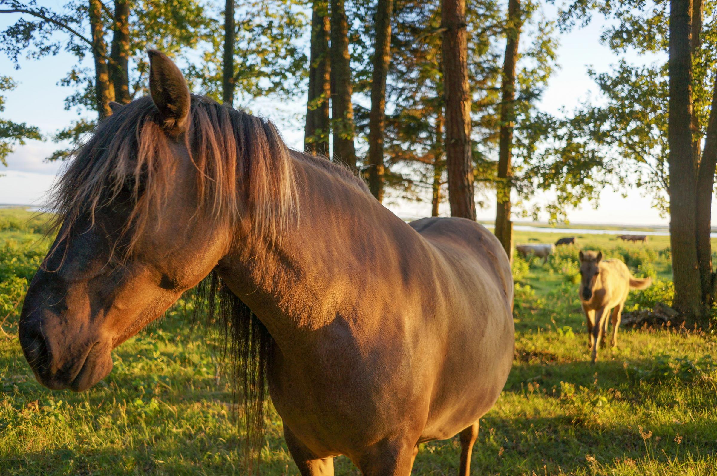 video: savvaļas zirgi pie Engures ezera
