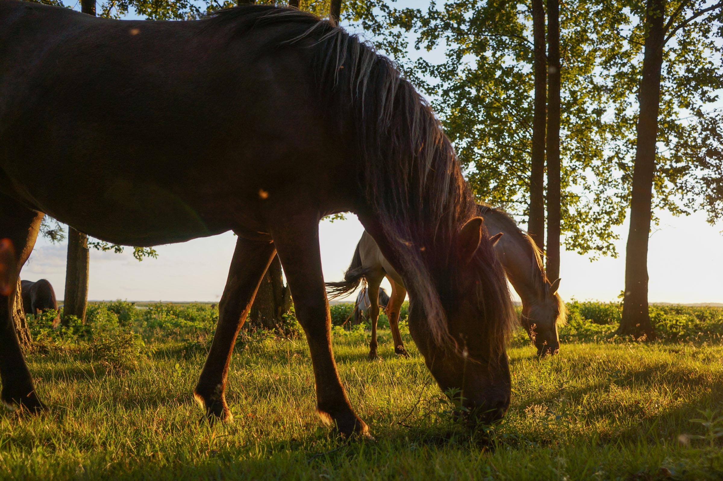 Savvaļas govis un zirgi pie Engures ezera